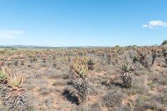 Τομέας της πικρής αλόης, Aloe ferox στοκ φωτογραφίες με δικαίωμα ελεύθερης χρήσης