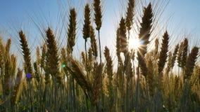 Τομέας της σίκαλης Αγροτικό τοπίο κάτω από να λάμψει το φως του ήλιου απόθεμα βίντεο