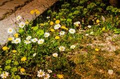 Τομέας της Daisy σε μια ημέρα της άνοιξης Στοκ φωτογραφίες με δικαίωμα ελεύθερης χρήσης