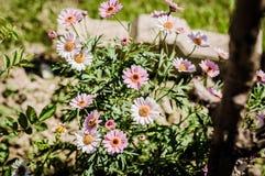 Τομέας της Daisy σε μια ημέρα της άνοιξης Στοκ Φωτογραφίες