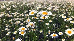 Τομέας της Daisy σε μια ηλιόλουστη ημέρα φιλμ μικρού μήκους