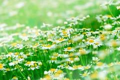Τομέας της Daisy Στοκ φωτογραφία με δικαίωμα ελεύθερης χρήσης