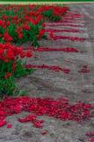 Τομέας τουλιπών και παλαιοί μύλοι στο netherland στοκ φωτογραφία