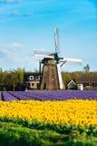 Τομέας τουλιπών και παλαιοί μύλοι στο netherland στοκ εικόνα με δικαίωμα ελεύθερης χρήσης