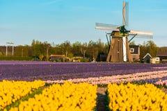 Τομέας τουλιπών και παλαιοί μύλοι στο netherland στοκ εικόνες με δικαίωμα ελεύθερης χρήσης