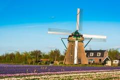Τομέας τουλιπών και παλαιοί μύλοι στο netherland στοκ εικόνες