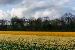 Τομέας τουλιπών και παλαιοί μύλοι στο netherland στοκ φωτογραφία με δικαίωμα ελεύθερης χρήσης