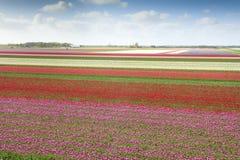 Τομέας τουλιπών με τα διαφορετικά χρώματα Στοκ Εικόνες