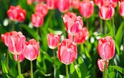 Τομέας τουλιπών, λουλούδια Στοκ Φωτογραφίες
