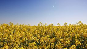 Τομέας του κίτρινου συναπόσπορου ενάντια στον ηλιόλουστο μπλε ουρανό απόθεμα βίντεο