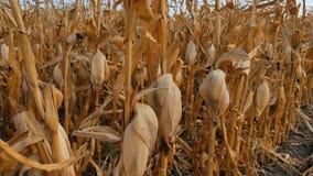 Τομέας του καλαμποκιού που στεγνώνουν και χαλασμένος από τους αυστηρούς όρους και τη θερμότητα ξηρασίας απόθεμα βίντεο