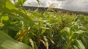 Τομέας του καλαμποκιού στο καλοκαίρι απόθεμα βίντεο