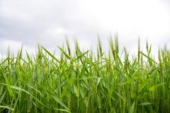 τομέας του πράσινου ανώριμου κριθαριού Spikelets του κριθαριού Ο τομέας είναι κριθάρι, αγροτικό τοπίο Στοκ Εικόνα