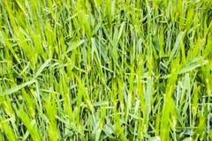 τομέας του πράσινου ανώριμου κριθαριού Spikelets του κριθαριού Ο τομέας είναι κριθάρι, αγροτικό τοπίο Στοκ Φωτογραφίες