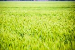 τομέας του πράσινου ανώριμου κριθαριού Spikelets του κριθαριού Ο τομέας είναι κριθάρι, αγροτικό τοπίο Στοκ φωτογραφία με δικαίωμα ελεύθερης χρήσης