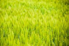 τομέας του πράσινου ανώριμου κριθαριού Spikelets του κριθαριού Ο τομέας είναι κριθάρι, αγροτικό τοπίο Στοκ Φωτογραφία