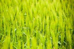 τομέας του πράσινου ανώριμου κριθαριού Spikelets του κριθαριού Ο τομέας είναι κριθάρι, αγροτικό τοπίο Στοκ Εικόνες