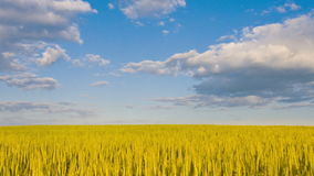 Τομέας του σίτου κάτω από το μπλε ουρανό Χρονικό σφάλμα απόθεμα βίντεο