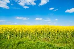 Τομέας του συναπόσπορου, του canola aka ή του ελαίου κολζά Αγροτικό τοπίο με το μπλε ουρανό και τα άσπρα σύννεφα Άνοιξη και πράσι Στοκ εικόνες με δικαίωμα ελεύθερης χρήσης