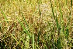 Τομέας του ταϊλανδικού ρυζιού με τα αυτιά του ρυζιού Ο τομέας είναι σε αγροτικό της Ταϊλάνδης Στοκ φωτογραφίες με δικαίωμα ελεύθερης χρήσης