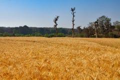 Τομέας του χρυσού σίτου χρώματος με το μπλε ουρανό και τα δέντρα στοκ εικόνες