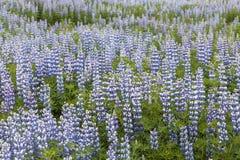 Τομέας του lupine Στοκ φωτογραφία με δικαίωμα ελεύθερης χρήσης