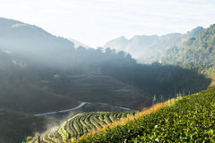 Τομέας τσαγιού και η υδρονέφωση πρωινού, σε Doi Angkhang σε Chiangmai, Tha Στοκ εικόνα με δικαίωμα ελεύθερης χρήσης