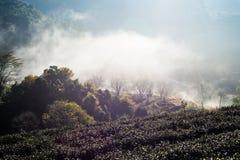 Τομέας τσαγιού και η υδρονέφωση πρωινού, σε Doi Angkhang σε Chiangmai, Tha Στοκ Φωτογραφία