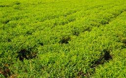 Τομέας τσαγιού στο Βιετνάμ στο καλοκαίρι Στοκ φωτογραφία με δικαίωμα ελεύθερης χρήσης