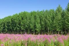 Τομέας των άγριων λουλουδιών με ένα δάσος - δέντρα λευκών στο backgr Στοκ φωτογραφία με δικαίωμα ελεύθερης χρήσης