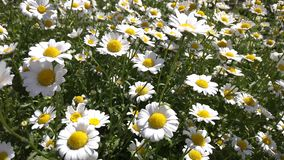 Τομέας των άσπρο λουλουδιών ή camomile μαργαριτών απόθεμα βίντεο