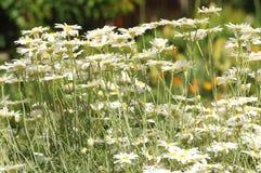Τομέας των άσπρων λουλουδιών στη Νότια Αυστραλία Στοκ εικόνες με δικαίωμα ελεύθερης χρήσης