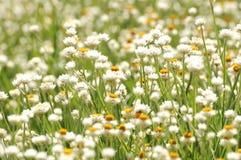 Τομέας των άσπρων λουλουδιών στη Νότια Αυστραλία Στοκ φωτογραφία με δικαίωμα ελεύθερης χρήσης