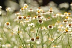 Τομέας των άσπρων λουλουδιών στη Νότια Αυστραλία Στοκ φωτογραφίες με δικαίωμα ελεύθερης χρήσης