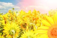 Τομέας των ανθίζοντας ηλίανθων ενάντια σε έναν ζωηρόχρωμο ουρανό στοκ φωτογραφίες με δικαίωμα ελεύθερης χρήσης