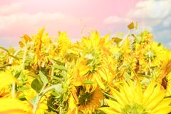 Τομέας των ανθίζοντας ηλίανθων ενάντια σε έναν ζωηρόχρωμο ουρανό στοκ φωτογραφία με δικαίωμα ελεύθερης χρήσης