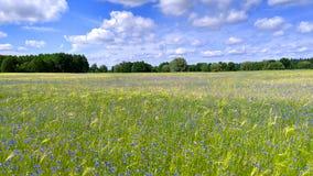Τομέας των δημητριακών και των μπλε λουλουδιών Στοκ φωτογραφία με δικαίωμα ελεύθερης χρήσης