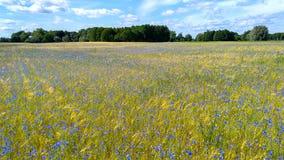 Τομέας των δημητριακών με τα μπλε λουλούδια Στοκ φωτογραφία με δικαίωμα ελεύθερης χρήσης