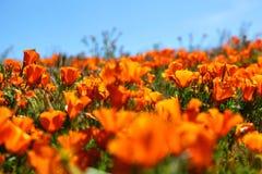 Τομέας των δονούμενων πορτοκαλιών wildflowers παπαρουνών Καλιφόρνιας Στοκ φωτογραφία με δικαίωμα ελεύθερης χρήσης