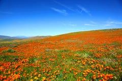 Τομέας των δονούμενων πορτοκαλιών wildflowers παπαρουνών Καλιφόρνιας Στοκ φωτογραφίες με δικαίωμα ελεύθερης χρήσης
