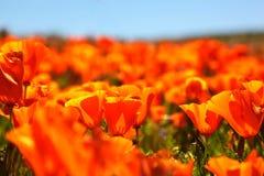Τομέας των δονούμενων πορτοκαλιών wildflowers παπαρουνών Καλιφόρνιας Στοκ Εικόνα