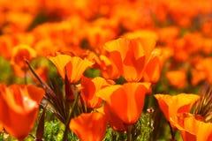 Τομέας των δονούμενων πορτοκαλιών wildflowers παπαρουνών Καλιφόρνιας Στοκ εικόνα με δικαίωμα ελεύθερης χρήσης