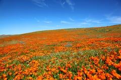 Τομέας των δονούμενων πορτοκαλιών wildflowers παπαρουνών Καλιφόρνιας Στοκ Εικόνες