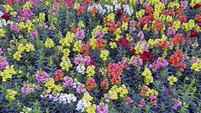 Τομέας των ζωηρόχρωμων λουλουδιών snapdragon Στοκ φωτογραφία με δικαίωμα ελεύθερης χρήσης
