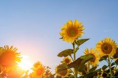 Τομέας των ηλίανθων και του ήλιου Στοκ εικόνα με δικαίωμα ελεύθερης χρήσης