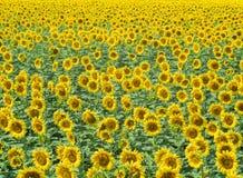 Τομέας των ηλίανθων στο καλοκαίρι, αγροτικό τοπίο Μέσος πυροβολισμός Χιλιάδες κίτρινοι ηλίανθοι με την πράσινη άνθιση φύλλων Στοκ φωτογραφίες με δικαίωμα ελεύθερης χρήσης