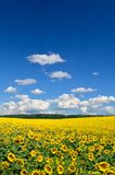 Τομέας των κίτρινων ηλίανθων ενάντια στο μπλε ουρανό Στοκ Εικόνες