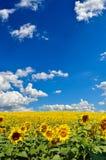 Τομέας των κίτρινων ηλίανθων ενάντια στο μπλε ουρανό Στοκ εικόνα με δικαίωμα ελεύθερης χρήσης