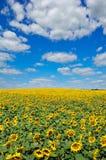Τομέας των κίτρινων ηλίανθων ενάντια στο μπλε ουρανό Στοκ φωτογραφία με δικαίωμα ελεύθερης χρήσης