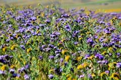Τομέας των κίτρινων και πορφυρών wildflowers Στοκ εικόνες με δικαίωμα ελεύθερης χρήσης
